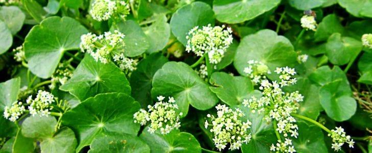 Gotu Kola plants blossoming