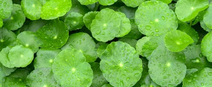 Gotu Kola is a herbaceous, perennial plant that's related to the carrot